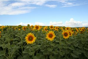 image-sunflowers